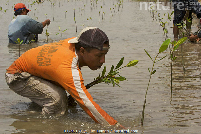 Fisherman and volunteers from the Mangrove Action Project work to plant mangrove seedlings in abandonned shrimp ponds near Jaring Halus Village, North Sumatra. Dykes have been opened to restore natural tidal flow to the ponds. North Sumatra, Indonesia. June 2006, ASIA,COASTS,CONSERVATION,ENVIRONMENTAL,HABITAT RESTORATION,INDONESIA,MANGROVE,MANGROVES,MANGROVE SWAMPS,PEOPLE,PLANTING,PLANTS,REGENERATION,SEEDLINGS,SUMATRA, Tim Laman