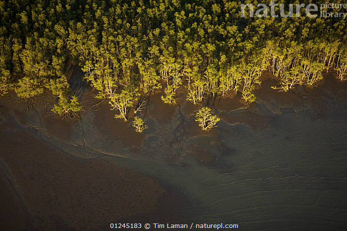 Aerial view of {Sonneratia sp} mangrove forest and adjacent mudflat at low tide, Bako National Park, Sarawak, Borneo, Malaysia, June 2006, AERIALS,BORNEO,COASTS,LANDSCAPES,MALAYSIA,MANGROVE,MANGROVES,TREES,SOUTH-EAST-ASIA,PLANTS,Asia, Tim Laman
