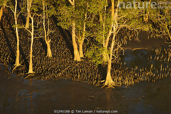 Aerial view of {Sonneratia sp} mangrove forest and adjacent mudflat at low tide, Lines of breathing roots are visible protruding from the mud radiating out from the trees. Bako National Park, Sarawak, Borneo, Malaysia, June 2006, AERIALS,ASIA,BORNEO,COASTS,LANDSCAPES,MALAYSIA,MANGROVE,MANGROVES,RESERVE,ROOTS,TREES,SOUTH-EAST-ASIA,PLANTS, Tim Laman