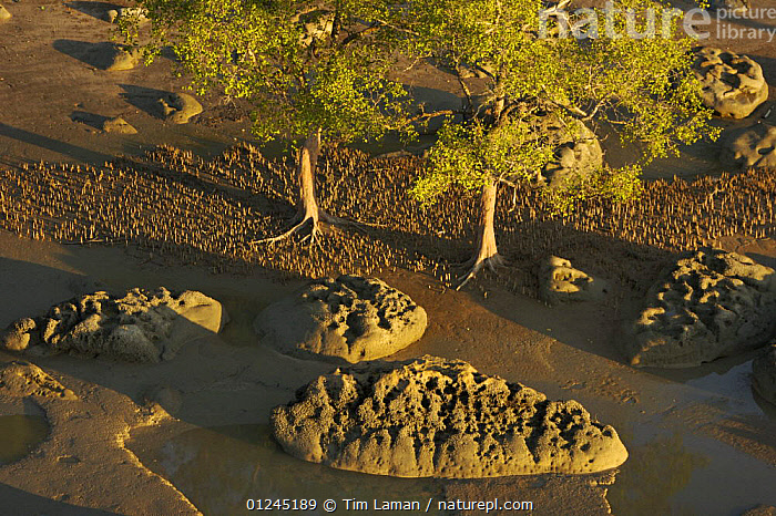 Aerial view of {Sonneratia sp} mangrove forest and adjacent mudflat at low tide, Lines of breathing roots are visible protruding from the mud radiating out from the trees. Bako National Park, Sarawak, Borneo, Malaysia, June 2006, AERIALS,BORNEO,COASTS,LANDSCAPES,MALAYSIA,MANGROVE,MANGROVES,ROCKS,SOUTH-EAST-ASIA,Asia, Tim Laman