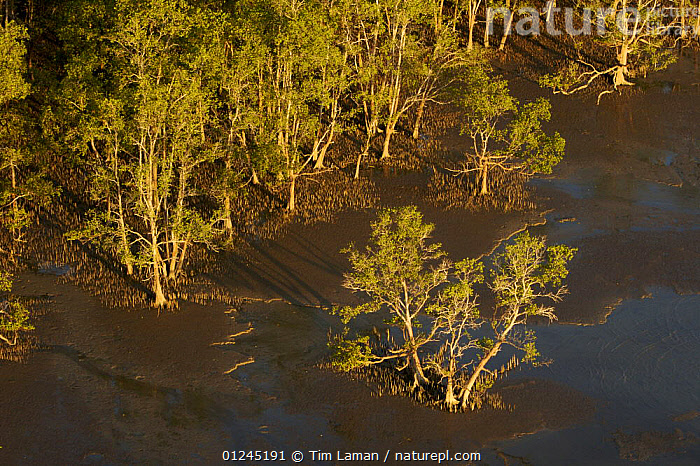 Aerial view of {Sonneratia sp} mangrove forest and adjacent mudflat at low tide, Lines of breathing roots are visible protruding from the mud radiating out from the trees. Bako National Park, Sarawak, Borneo, Malaysia, June 2006, AERIALS,ASIA,BORNEO,COASTS,LANDSCAPES,MALAYSIA,MANGROVE,MANGROVES,RESERVE,TREES,SOUTH-EAST-ASIA,PLANTS, Tim Laman