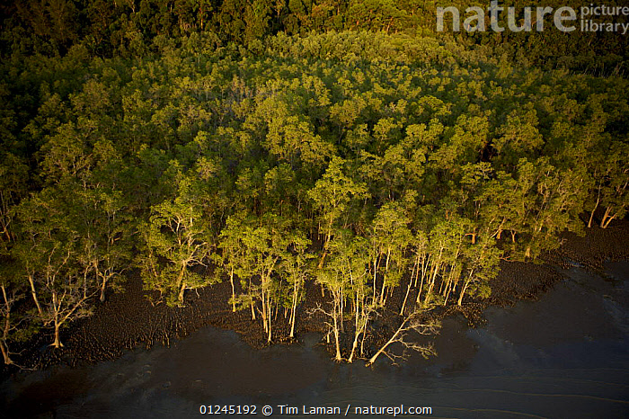 Aerial view of {Sonneratia sp} mangrove forest and adjacent mudflat at low tide, Bako National Park, Sarawak, Borneo, Malaysia, June 2006, AERIALS,ASIA,BORNEO,COASTS,LANDSCAPES,MALAYSIA,MANGROVE,MANGROVES,RESERVE,TREES,SOUTH-EAST-ASIA,PLANTS, Tim Laman