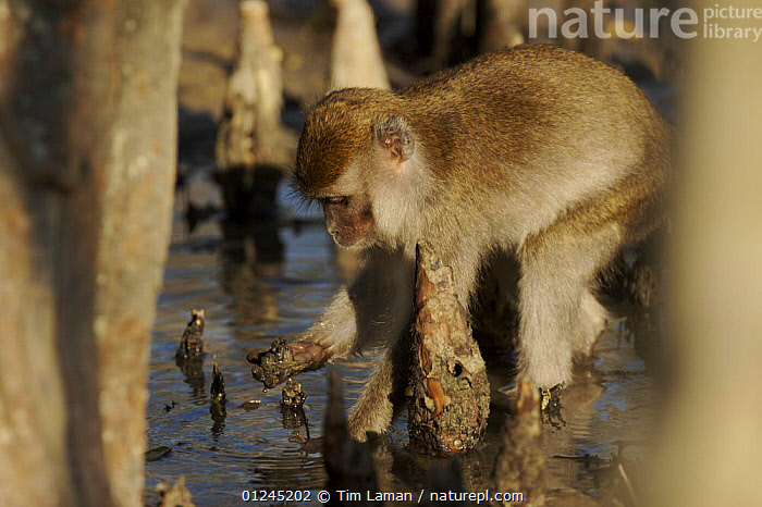 Long-tailed / Crab-eating macaque (Macaca fascicularis) foraging amongst roots on the mangrove mudflats at low tide. Bako National Park, Sarawak, Borneo, Malaysia. June 2006, ASIA,BEHAVIOUR,FEEDING,MACAQUES,MAMMALS,MANGROVE,MANGROVES,MONKEYS,PRIMATES,RESERVE,ROOTS,VERTEBRATES, Tim Laman