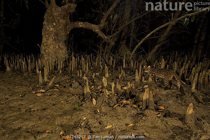 Leopard Cat {Prionailurus bengalensis bengalensis} walking through the mangroves at night. Endangered Species, Sundarban Mangroves, Bangladesh., ASIA,CAMOUFLAGE,CARNIVORES,CATS,COASTS,HABITAT,MAMMALS,MANGROVE,NIGHT,ROOTS,VERTEBRATES, Tim Laman