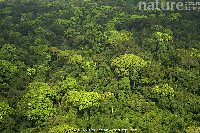 Aerial view of rainforest canopy on Bioko Island, Equatorial Guinea, Central Africa. January 2008, AERIALS,CENTRAL AFRICA,COASTS,ILCP,LANDSCAPES,RAVE,TROPICAL RAINFOREST,Africa, Tim Laman