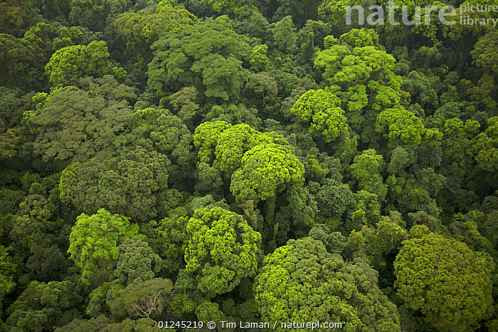 Aerial view of rainforest canopy on southern coastal area of Bioko Island, Equatorial Guinea, Central Africa. January 2008, AERIALS,CENTRAL AFRICA,ILCP,LANDSCAPES,RAVE,TROPICAL RAINFOREST,Africa, Tim Laman