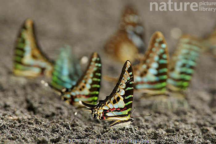 Group of Swallowtail butterflies (Graphium sp) on beach. Bioko Island, Equatorial Guinea., ARTY SHOTS,BEACHES,CENTRAL AFRICA,COLOURFUL,GROUPS,ILCP,INSECTS,INVERTEBRATES,LEPIDOPTERA,PROFILE,RAVE,SWALLOWTAIL BUTTERFLIES,WINGS,Africa, Tim Laman
