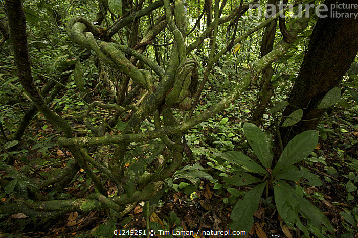 A tangle of lianas (woody vines) in the rainforest of Bioko Island, Equatorial Guinea, January 2008, CENTRAL AFRICA,CLIMBERS,ILCP,LANDSCAPES,PLANTS,RAVE,TROPICAL RAINFOREST,UNDERSTOREY,VINES,Africa, Tim Laman
