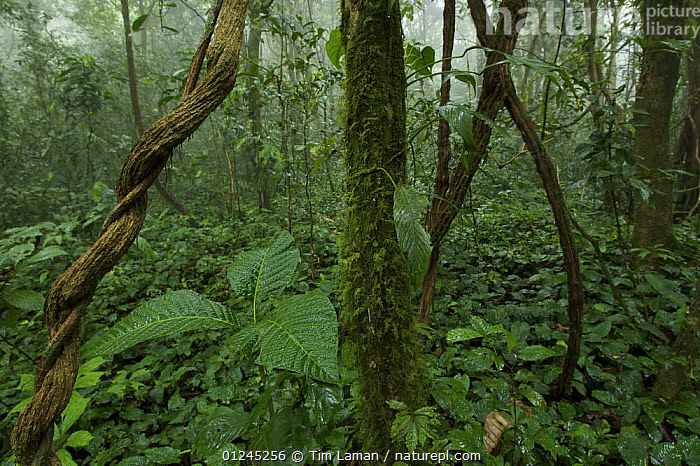 Rainforest interior view after rain, inside the Caldera on Bioko Island, Equatorial Guinea, January 2008., CENTRAL AFRICA,CLIMBERS,ILCP,LANDSCAPES,LEAVES,RAVE,TROPICAL RAINFOREST,UNDERSTORY,VINES,Africa,Plants, Tim Laman