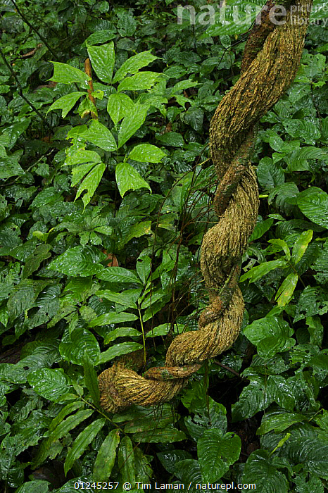 Detail of rainforest plants after rain. A twisted liana and glossy leaves of understory plants, Bioko Island, Equatorial Guinea, January 2008, CENTRAL AFRICA,CLIMBERS,ILCP,LANDSCAPES,LEAVES,RAVE,TROPICAL RAINFOREST,UNDERSTOREY,VERTICAL,VINES,Africa,Plants, Tim Laman