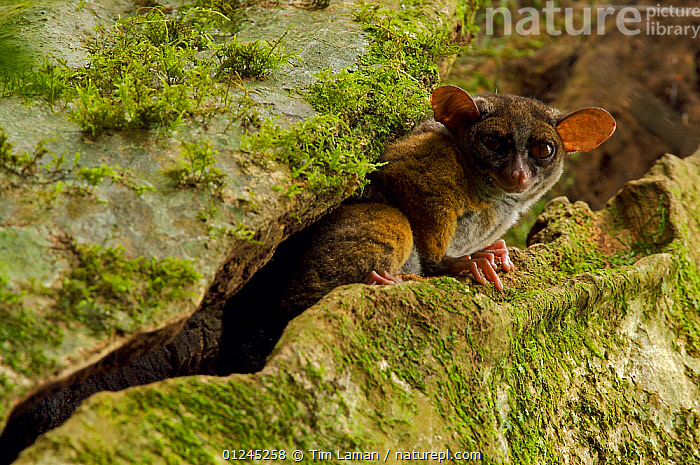 Allen's squirrel bushbaby (Galago /  Sciurocheirus alleni alleni) peering from a crack in its roosting tree, Endemic subspecies to Bioko Island, Equatorial Guinea, January, ALLEN'S SQUIRREL,BUSHBABIES,CENTRAL AFRICA,galagidae,ilcp,MAMMALS,NOCTURNAL,PRIMATES,rave,TROPICAL RAINFOREST,VERTEBRATES, Tim Laman
