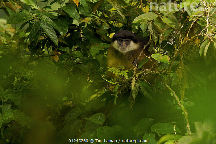 Pennant's Red Colobus (Procolobus pennantii pennantii) monkey in rainforest. Adult male. Critically endangered species, endemic subspecies to Bioko Island, Equatorial Guinea, January, CENTRAL AFRICA,COLOBUS MONKEYS,CRITICALLY ENDANGERED,ILCP,MAMMALS,PRIMATES,RAVE,TROPICAL RAINFOREST,VERTEBRATES,Africa, Tim Laman