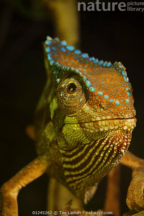 Crested Chameleon (Chamaeleo cristatus) Bioko Island, Equatorial Guinea, January, BLUE, CENTRAL-AFRICA, CHAMELEONS, COLOURFUL, EYES, ilcp, PORTRAITS, rave, REPTILES, TROPICAL-RAINFOREST, VERTEBRATES, VERTICAL,Africa, Tim Laman