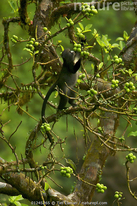 Putty-nosed guenon (Cercopithecus nictitans stampflii) male feeding in fig (Ficus sp) tree. Endemic subspecies to Bioko Island, Equatorial Guinea, January, CENTRAL AFRICA,FEEDING,FRUIT,GUENONS,ILCP,MALES,MAMMALS,MONKEY,MONKEYS,PRIMATES,RAVE,TROPICAL RAINFOREST,VERTEBRATES,VERTICAL,Africa,Plants, Tim Laman