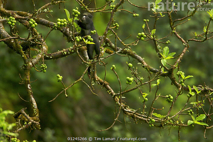 Nature Picture Library - Putty-nosed guenon (Cercopithecus