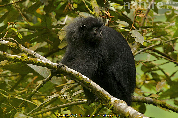 Bioko black colobus (Colobus satanas satanas) monkey in rainforest, Endangered Species, Bioko Island, Equatorial Guinea, January, CENTRAL AFRICA,COLOBUS MONKEYS,ENDANGERED,ILCP,MAMMALS,PRIMATES,RAVE,TROPICAL RAINFOREST,VERTEBRATES,Africa, Tim Laman