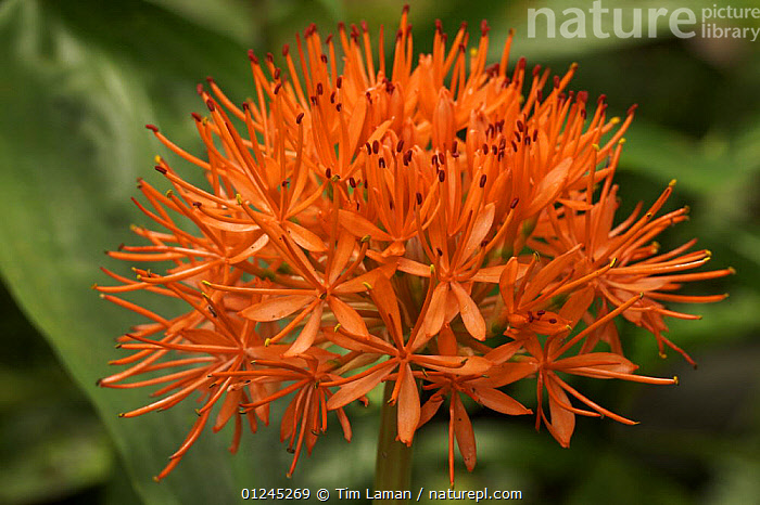 Flower of a wild lily species in the rainforest of Bioko, Equatorial Guinea., CENTRAL AFRICA,FLOWERS,ILCP,PLANTS,RAVE,RED,TROPICAL RAINFOREST,Africa, Tim Laman