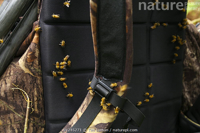 Bees (Apis sp) gather on a sweaty backpack, Bioko Island, Equatorial Guinea, Rapid Assessment Visual Expedition, International League of Conservation Photographers, January 2008, BEES,CENTRAL AFRICA,GROUPS,HYMENOPTERA,ILCP,INSECTS,INVERTEBRATES,RAVE,TROPICAL RAINFOREST,Africa, Tim Laman