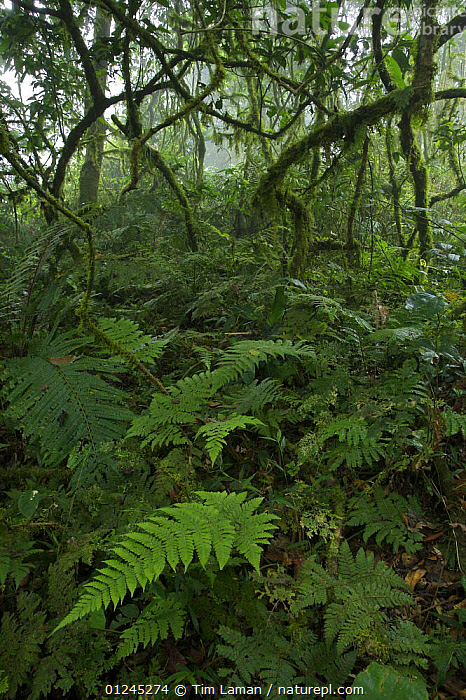Rainforest interior with ferns, moss covered branches, lianas and mist, inside the Caldera on Bioko Island, Equatorial Guinea, International League of Conservation Photographers, January 2008., CENTRAL AFRICA,HABITAT,ILCP,LANDSCAPES,PLANTS,RAVE,TROPICAL RAINFOREST,VERTICAL,Africa, Tim Laman