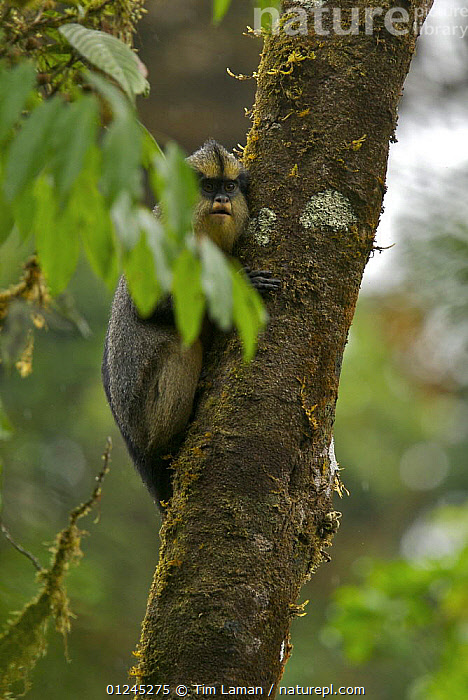 Crowned Guenon (Cercopithecus pogonias pogonias) male in rainforest in the upper Caldera, Endemic subspecies to Bioko Island, Equatorial Guinea, January, CENTRAL AFRICA,GUENONS,ILCP,MAMMALS,MONKEY,MONKEYS,PRIMATES,RAVE,TROPICAL RAINFOREST,VERTEBRATES,VERTICAL,Africa, Tim Laman