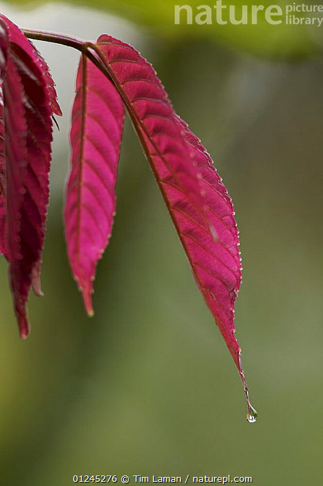 Newly emerged red leaves of a rainforest plant, Bioko Island, Equatorial Guinea, January, ARTY SHOTS,CENTRAL AFRICA,COLOURFUL,DRIP TIP,ILCP,LEAVES,PLANTS,RAVE,TROPICAL RAINFOREST,VERTICAL,WATER,Africa, Tim Laman