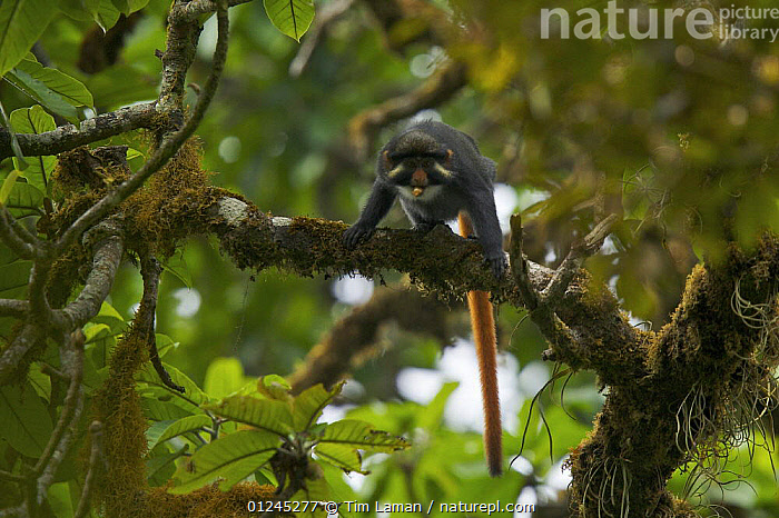 Bioko red-eared guenon (Cercopithecus erythrotis erythrotis) male in rainforest, Endemic subspecies to Bioko Island, Equatorial Guinea, Endangered Species, January, CENTRAL AFRICA,GUENONS,ILCP,MALES,MAMMALS,MONKEYS,PRIMATES,RAVE,TROPICAL RAINFOREST,VERTEBRATES,VULNERABLE,Africa, Tim Laman