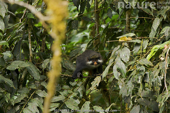 Red-eared guenon (Cercopithecus erythrotis erythrotis) in rainforest, Bioko Island, Equatorial Guinea. Endangered Species, January 2008, CENTRAL AFRICA,GUENONS,ILCP,MAMMALS,MONKEYS,PRIMATES,RAVE,TROPICAL RAINFOREST,VERTEBRATES,VULNERABLE,Africa, Tim Laman