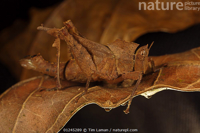 Grasshopper camouflaged against a dead leaf, Bioko Island, Equatorial Guinea, January, BROWN,CAMOUFLAGE,CENTRAL AFRICA,GRASSHOPPERS,ILCP,INSECTS,INVERTEBRATES,LEAVES,ORTHOPTERA,RAVE,TROPICAL RAINFOREST,Africa, Tim Laman