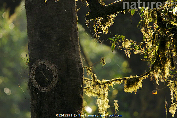 A spider web covered with morning dew and moss covered branches backlit, Bioko Island, Equatorial Guinea, January 2008, ARACHNIDS,ARTY SHOT,CENTRAL AFRICA,CIRCLE,ILCP,RAVE,SPHERE,TREES,TROPICAL RAINFOREST,WEBS,Invertebrates,Africa,PLANTS, Tim Laman