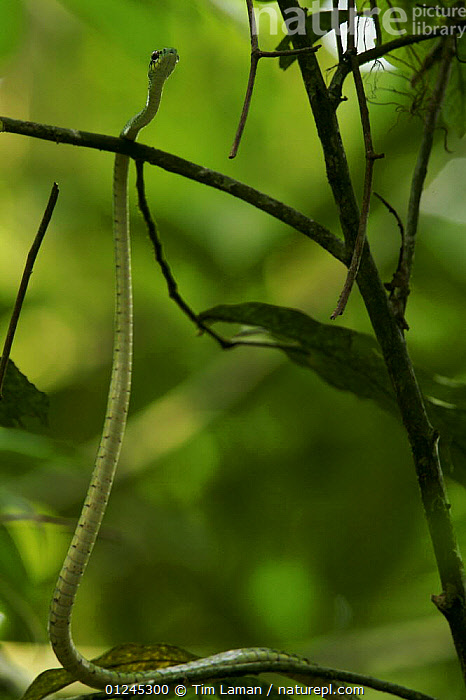 Unidentified snake climbing a small tree in the rainforest, Bioko Island, Equatorial Guinea, January, CAMOUFLAGE,CENTRAL AFRICA,CLIMBING,GREEN,ILCP,RAVE,REPTILES,SNAKES,TROPICAL RAINFOREST,VERTEBRATES,VERTICAL,Africa, Tim Laman
