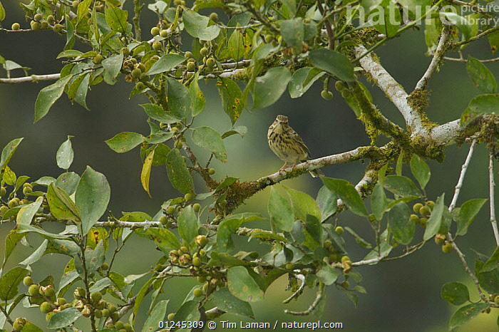 Tree Pipit (Anthus trivialis) in rainforest tree, Bioko Island, Equatorial Guinea, January, BIRDS,CAMOUFLAGE,CENTRAL AFRICA,FRUIT,ILCP,PIPITS,RAVE,TROPICAL RAINFOREST,VERTEBRATES,Africa,Plants, Tim Laman
