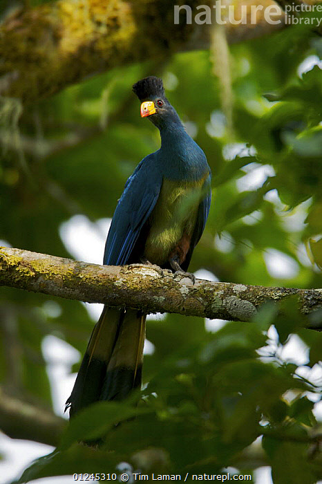 Great Blue Turaco (Corythaeola cristata) perched in rainforest, Bioko Island, Equatorial Guinea, January, BIRDS,CENTRAL AFRICA,ILCP,RAVE,TROPICAL RAINFOREST,TURACOS,VERTEBRATES,VERTICAL,Africa, Tim Laman