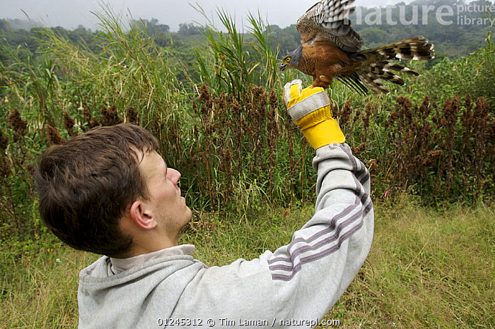 Research scientist, Jake Owens, releasing after measuring a mist-netted African Goshawk {Accipiter tachiro} Bioko Island, Equatorial Guinea, Rapid Assessment Visual Expedition, International League of Conservation Photographers, January 2008, Model released, BIRDS,BIRDS OF PREY,CENTRAL AFRICA,HAWKS,ILCP,PEOPLE,RAVE,RESEARCH,VERTEBRATES,Africa, Tim Laman