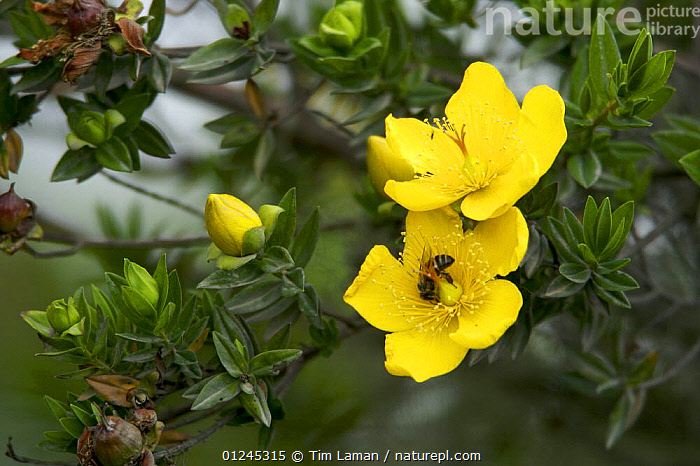 {Hypericum sp} flowers visited by a Honey bee (Apis sp) in rainforest, Bioko Island, Equatorial Guinea, January, BEES,CENTRAL AFRICA,DICOTYLEDONS,FLOWERS,HYMENOPTERA,HYPERICACEAE,ILCP,INSECTS,PLANTS,POLLINATION,RAVE,TROPICAL RAINFOREST,YELLOW,Africa,Invertebrates, Tim Laman