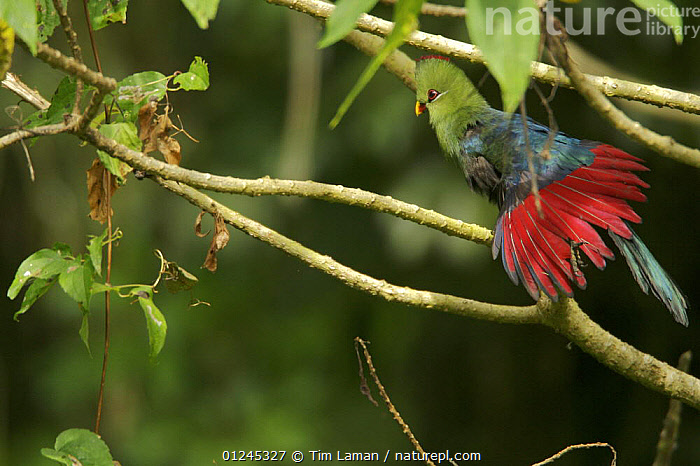 Yellow-billed Turaco (Tauraco macrorhynchus) stretching wings, Pico Basile, Bioko Island, Equatorial Guinea, January, BEHAVIOUR, BIRDS, CENTRAL-AFRICA, COLOURFUL, ilcp, rave, RED, TROPICAL-RAINFOREST, TUARACOS, VERTEBRATES,Africa, Tim Laman