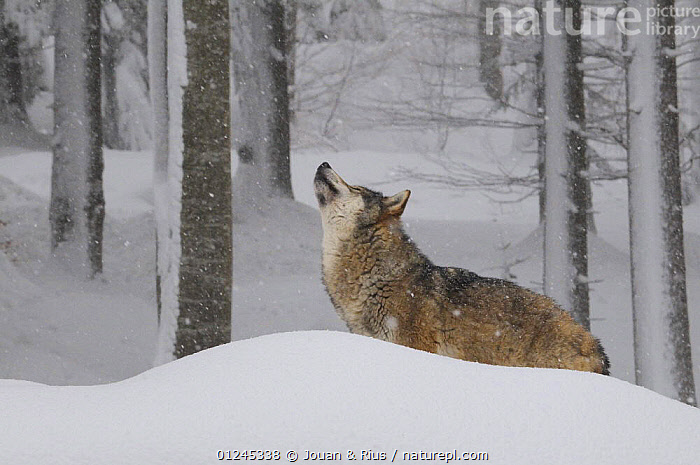 Grey wolf (Canis lupus) in snow, captive, Bayerischer Wald / Bavarian Forest National Park, Germany, BEHAVIOUR,CANIDS,CARNIVORES,EUROPE,FORESTS,GERMANY,MAMMALS,SNOW,TREES,TRUNKS,VERTEBRATES,WINTER,WOLVES,PLANTS, Jouan & Rius