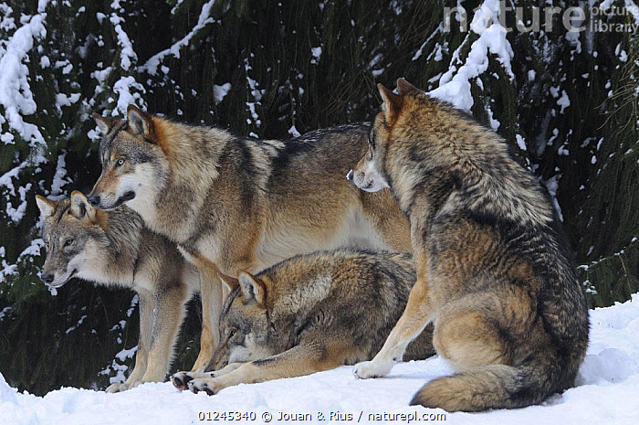 Four Grey wolves (Canis lupus) in snow, captive, Bayerischer Wald / Bavarian Forest National Park, Germany, CANIDS,CARNIVORES,EUROPE,GERMANY,GROUPS,MAMMALS,SNOW,VERTEBRATES,WINTER,WOLVES, Jouan & Rius