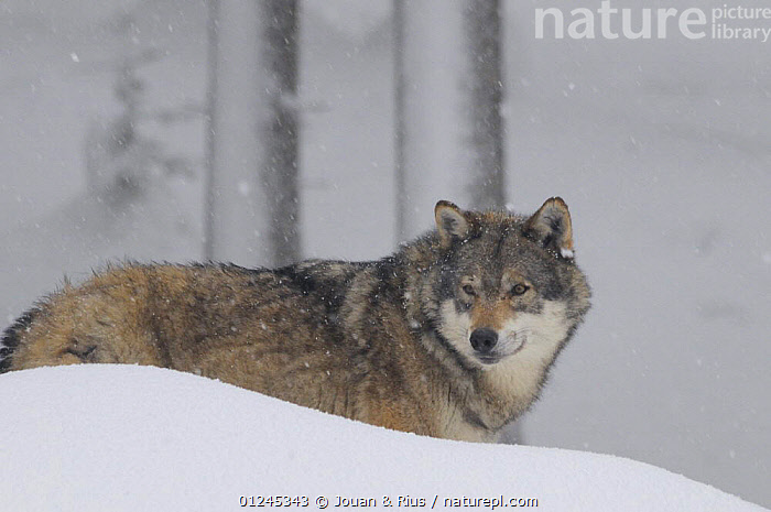 Grey wolf (Canis lupus) in snow, captive, Bayerischer Wald / Bavarian Forest National Park, Germany, CANIDS,CARNIVORES,EUROPE,FORESTS,GERMANY,MAMMALS,SNOW,TREES,VERTEBRATES,WINTER,WOLVES,PLANTS, Jouan & Rius