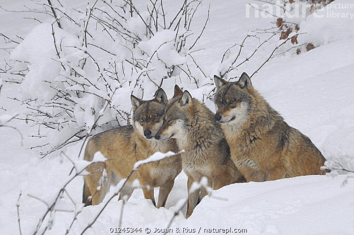 Three Grey wolves (Canis lupus) in snow, captive, Bayerischer Wald / Bavarian Forest National Park, Germany, CANIDS,CARNIVORES,EUROPE,GERMANY,MAMMALS,SNOW,VERTEBRATES,WINTER,WOLVES, Jouan & Rius