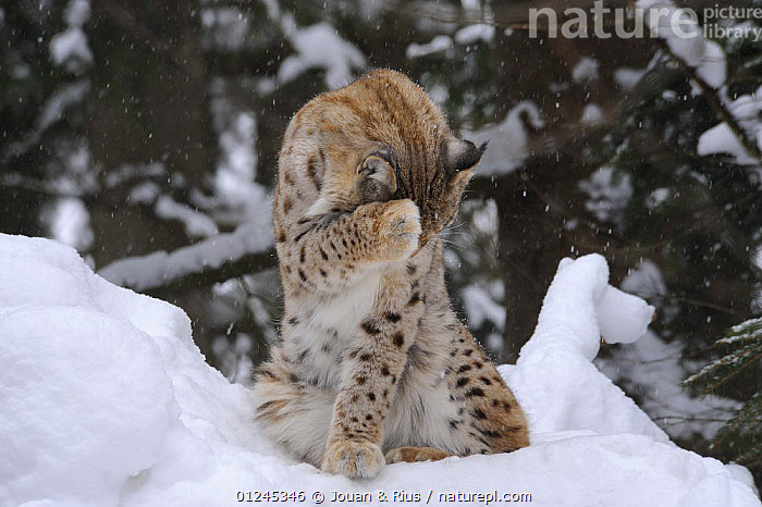 Eurasian lynx (Lynx lynx) grooming in snow, captive, Bayerischer Wald / Bavarian Forest National Park, Germany, BEHAVIOUR,CARNIVORES,CATS,EUROPE,GERMANY,GROOMING,MAMMALS,SNOW,VERTEBRATES,WINTER, Jouan & Rius