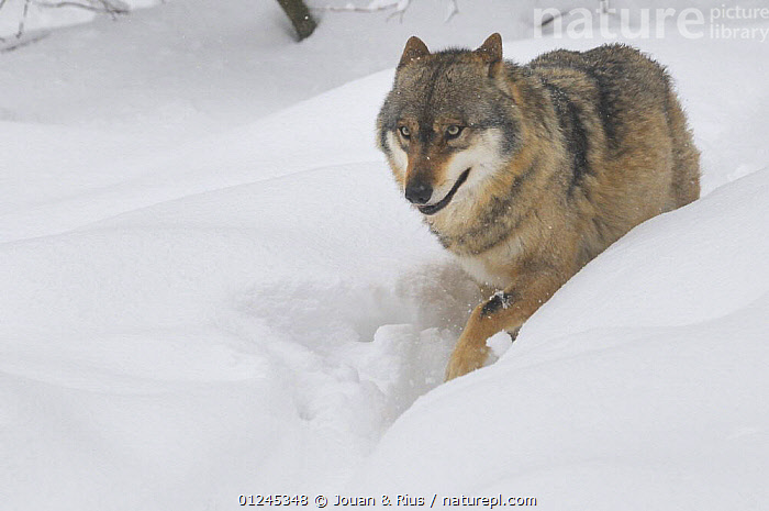 Grey wolf (Canis lupus) walking through deep snow, captive, Bayerischer Wald / Bavarian Forest National Park, Germany, CANIDS,CARNIVORES,EUROPE,GERMANY,MAMMALS,SNOW,VERTEBRATES,WALKING,WINTER,WOLVES, Jouan & Rius