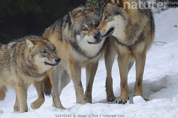 Three Grey wolves (Canis lupus) in snow, captive, Bayerischer Wald / Bavarian Forest National Park, Germany, BEHAVIOUR,CANIDS,CARNIVORES,EUROPE,GERMANY,INTERACTION,MAMMALS,SNOW,THREE,VERTEBRATES,WINTER,WOLVES, Jouan & Rius