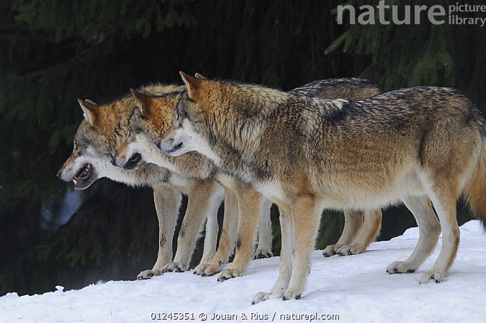 Grey wolves (Canis lupus) standing in a row, captive, Bayerischer Wald / Bavarian Forest National Park, Germany, CANIDS,CARNIVORES,EUROPE,GERMANY,MAMMALS,SNOW,THREE,VERTEBRATES,WINTER,WOLVES, Jouan & Rius
