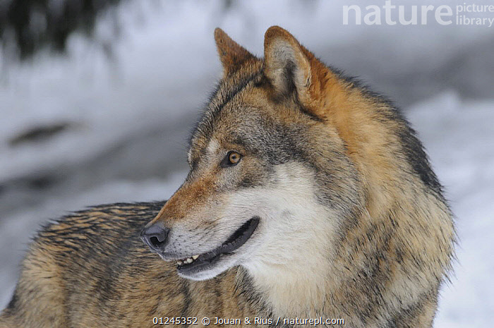 Grey wolf (Canis lupus) portrait, captive, Bayerischer Wald / Bavarian Forest National Park, Germany, CANIDS,CARNIVORES,EUROPE,GERMANY,MAMMALS,PORTRAITS,SNOW,VERTEBRATES,WINTER,WOLVES, Jouan & Rius