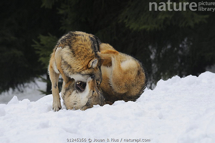 Two Grey wolves (Canis lupus) fighting in snow, captive, Bayerischer Wald / Bavarian Forest National Park, Germany, BEHAVIOUR,CANIDS,CARNIVORES,EUROPE,FIGHTING,GERMANY,MAMMALS,SNOW,VERTEBRATES,WINTER,WOLVES,Aggression, Jouan & Rius