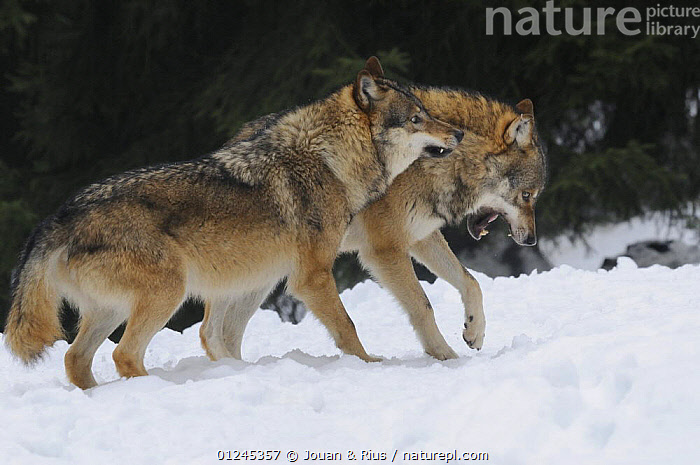Two Grey wolves (Canis lupus) fighting, captive, Bayerischer Wald / Bavarian Forest National Park, Germany, BEHAVIOUR,CANIDS,CARNIVORES,EUROPE,FIGHTING,GERMANY,MAMMALS,SNOW,VERTEBRATES,WINTER,WOLVES,Aggression, Jouan & Rius