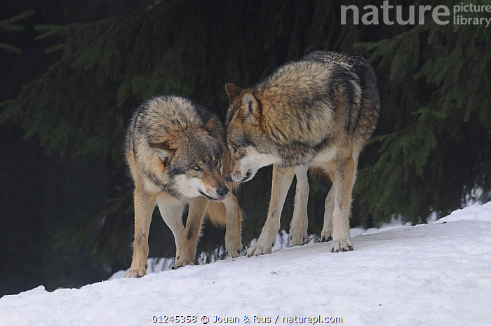 Two Grey wolves (Canis lupus) interacting, captive, Bayerischer Wald / Bavarian Forest National Park, Germany, BEHAVIOUR,CANIDS,CARNIVORES,COMMUNICATION,EUROPE,GERMANY,INTERACTION,MAMMALS,SNOW,VERTEBRATES,WINTER,WOLVES, Jouan & Rius