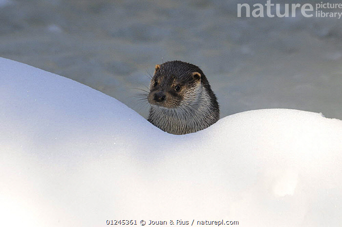 Eurasian otter (Lutra l. lutra) looking over snow bank from water, captive, Bayerischer Wald / Bavarian Forest National Park, Germany, CARNIVORES,EUROPE,GERMANY,HEADS,MAMMALS,MUSTELIDS,OTTERS,SNOW,VERTEBRATES,WATER,WINTER, Jouan & Rius