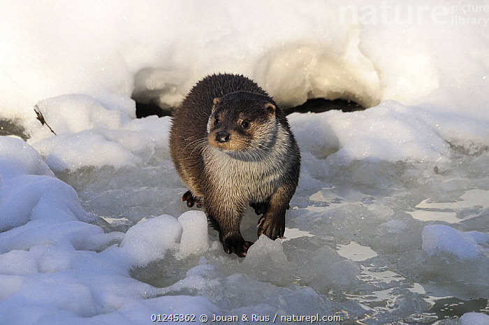 Eurasian otter (Lutra l. lutra) on ice, captive, Bayerischer Wald / Bavarian Forest National Park, Germany, CARNIVORES,EUROPE,GERMANY,ICE,MAMMALS,MUSTELIDS,OTTERS,SNOW,VERTEBRATES,WINTER, Jouan & Rius