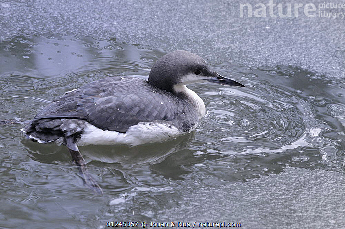 Black-throated loon / diver (Gavia arctica) on water, captive, Bayerischer Wald / Bavarian Forest National Park, Germany, BIRDS,DIVERS,EUROPE,GERMANY,ICE,LOONS,VERTEBRATES,WATER,WATERFOWL,WINTER, Jouan & Rius